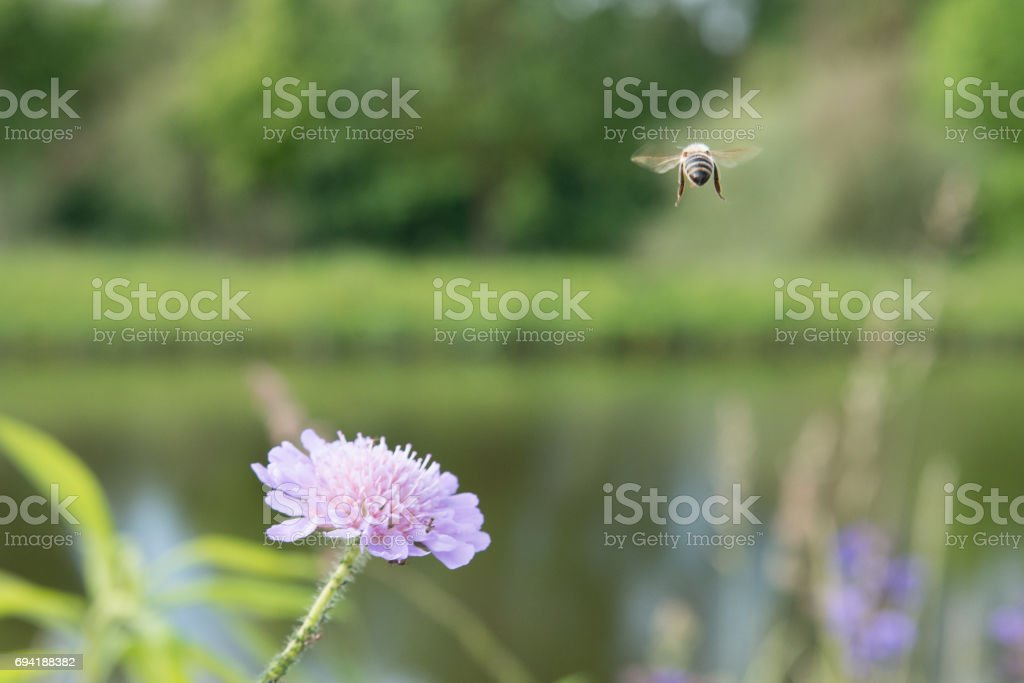 Flying bee and a flower with ants and vine louse stock photo