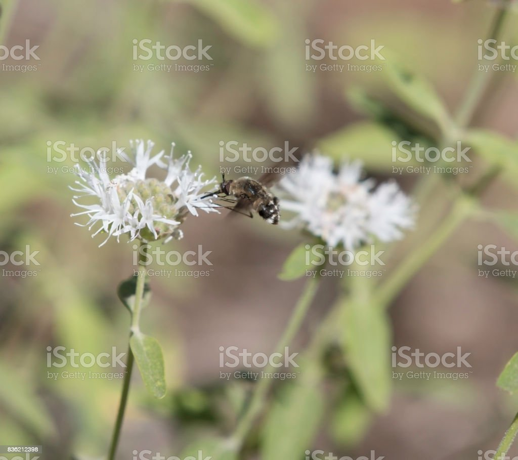 Flying Bee Fly Collecting Pollen stock photo