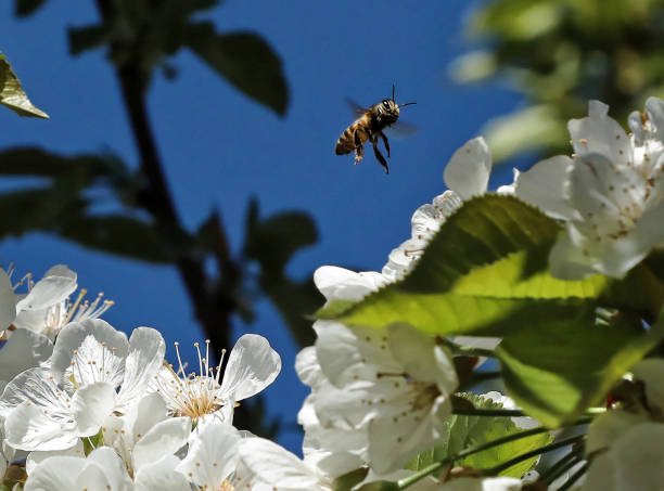 A flying bee in cherry tree flowers