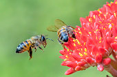 Bee flying in midair pollinating a red flowering plant, seen here in midair action, with another bee on the flower.