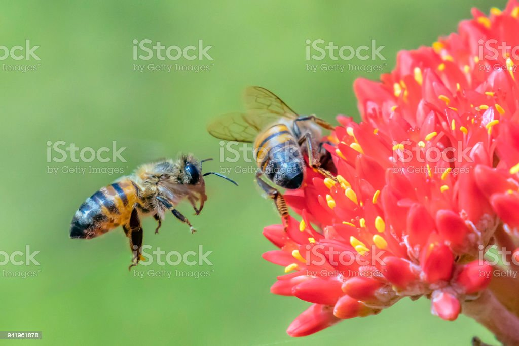 Flying bee landing on a red flowering plant stock photo