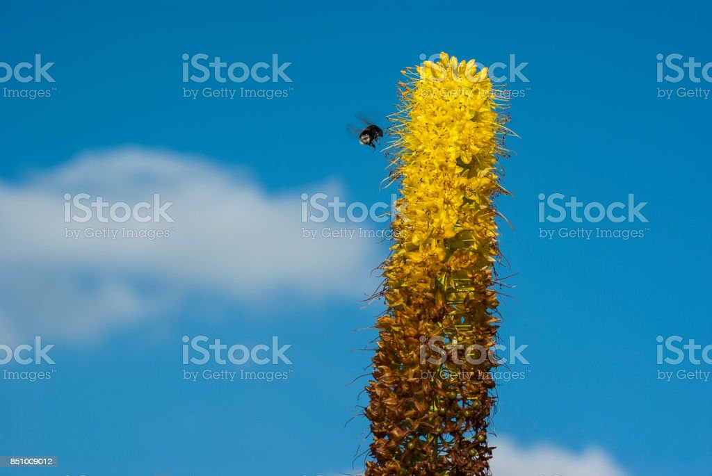 Flying bee on a steppe, Eremurus, in front of a bright blue sky with veil clouds stock photo