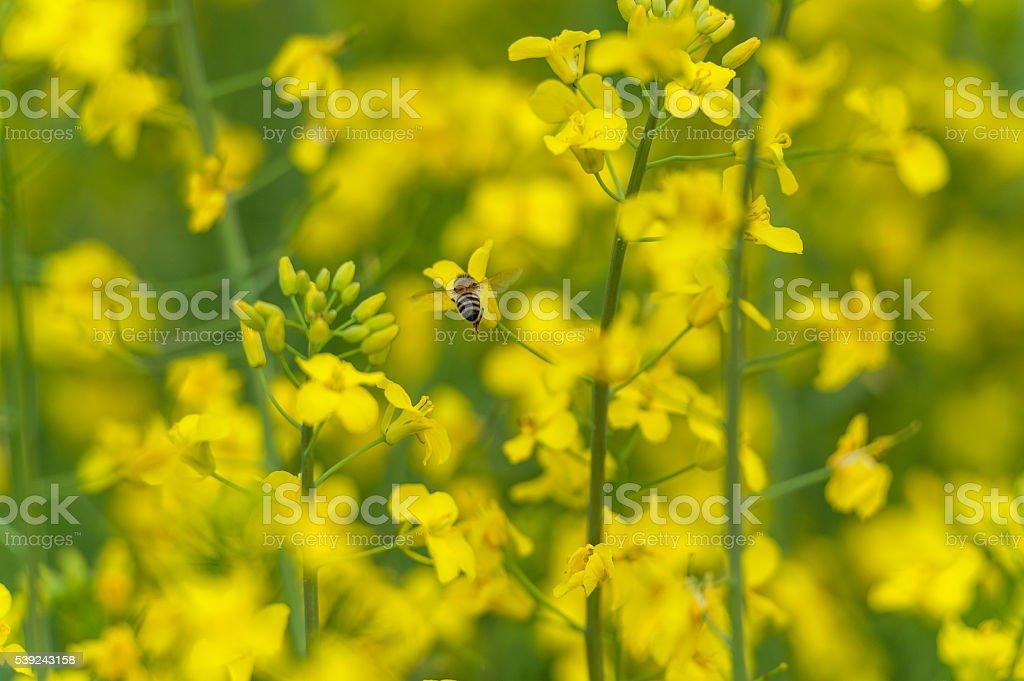 Flying Bee over the Rapeseed blossom. Macro photo foto de stock libre de derechos