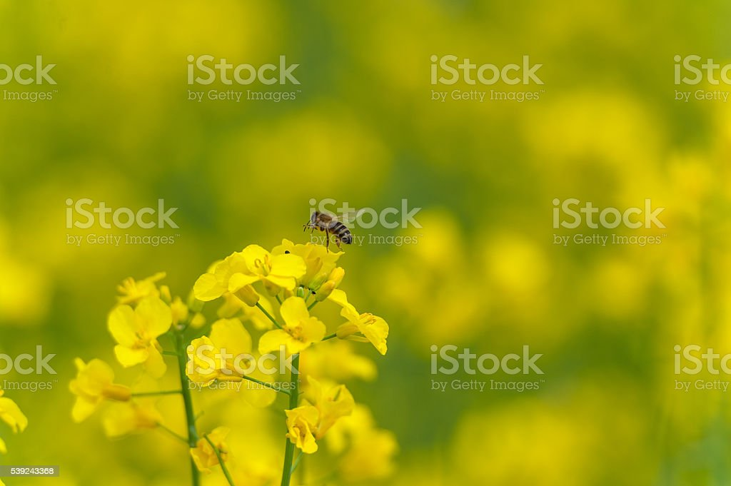 Flying Bee over the Rapeseed blossom. Macro photo royalty-free stock photo