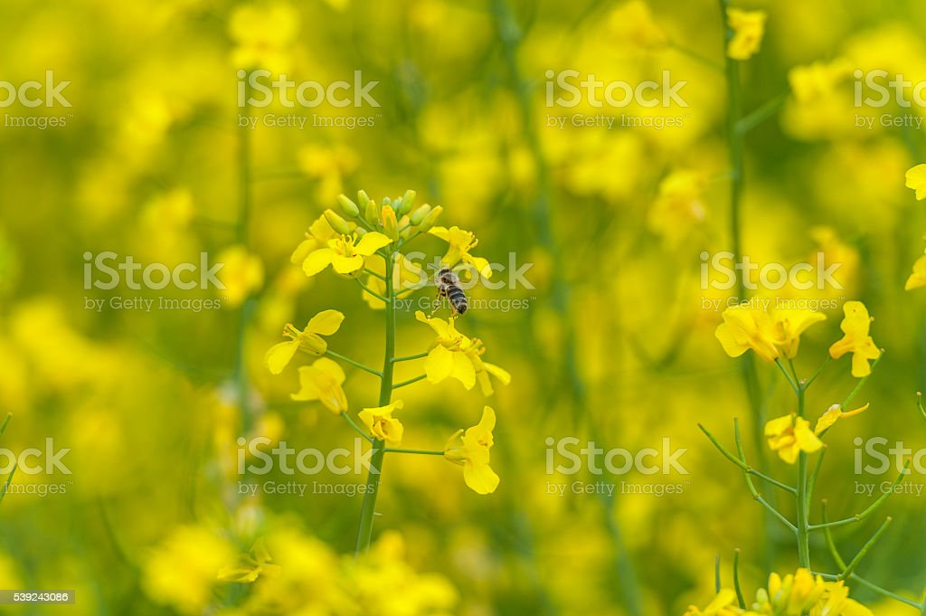 Flying Bee over the Rapeseed blossom. Macro photo shoot foto de stock libre de derechos