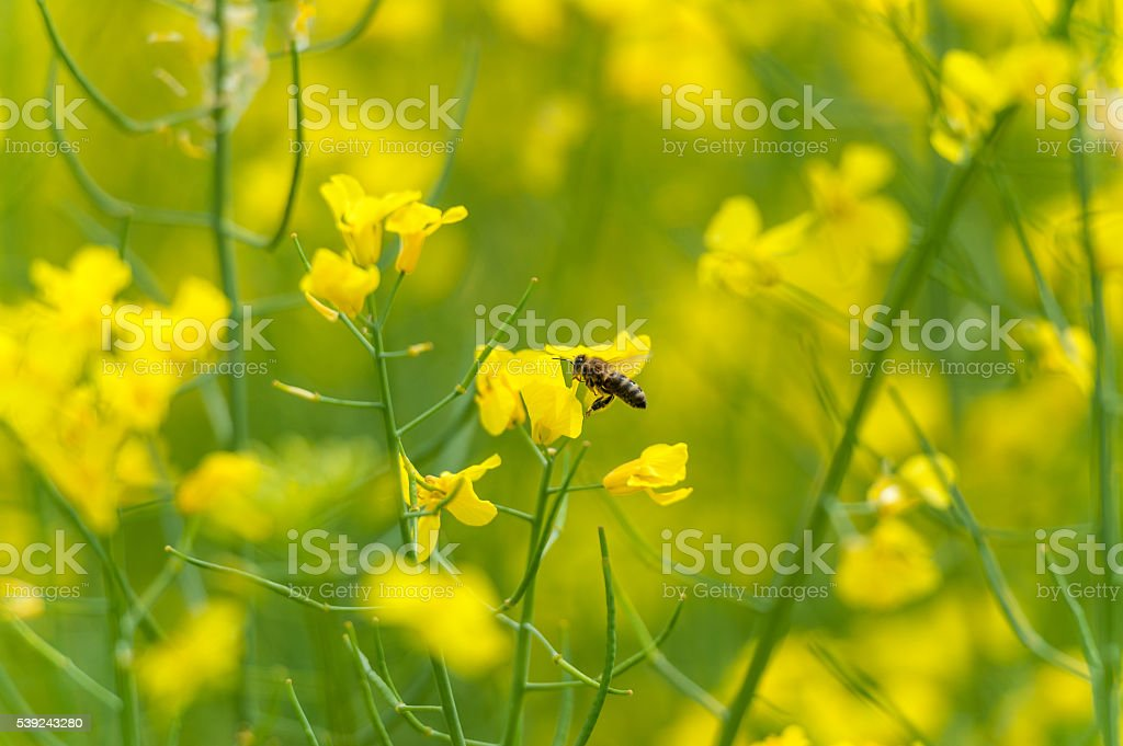 Flying Bee over the Rapeseed blossom. Macro photo shoot royalty-free stock photo