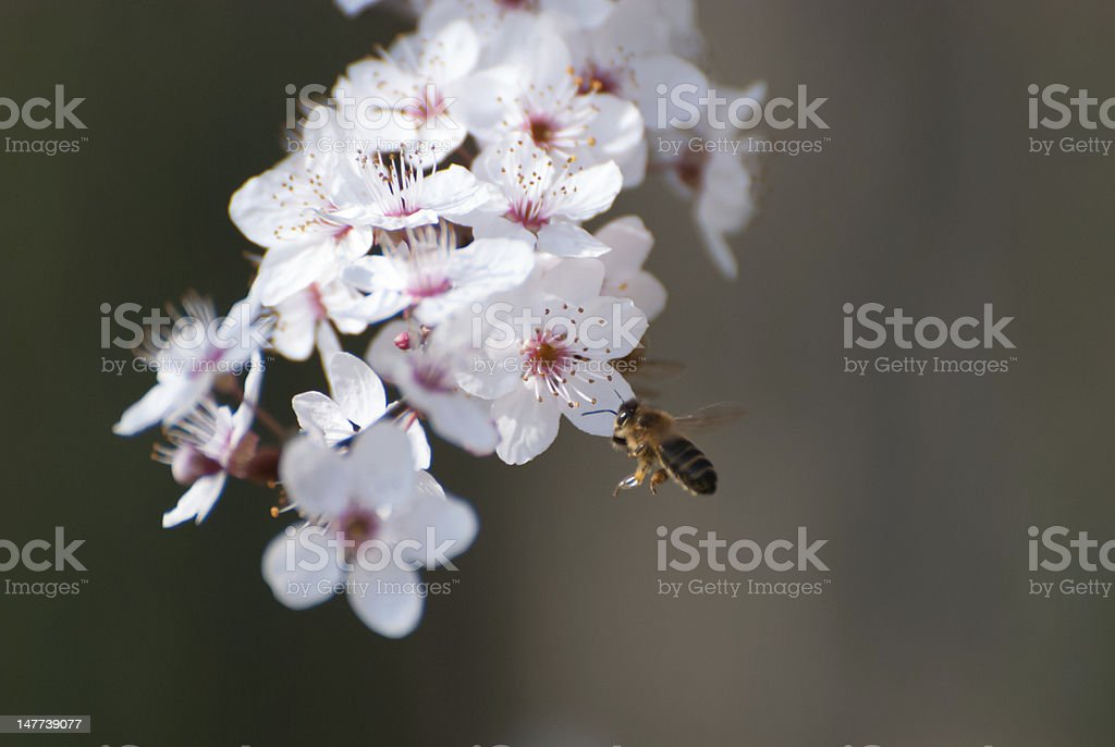 Flying bee royalty-free stock photo