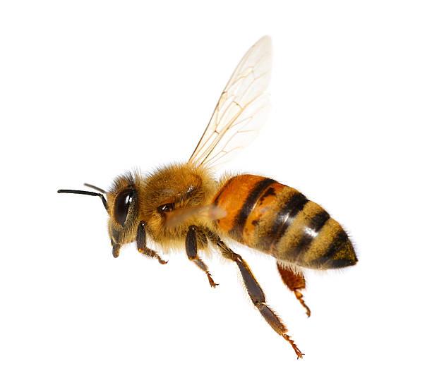 abeja volando - bee fotografías e imágenes de stock