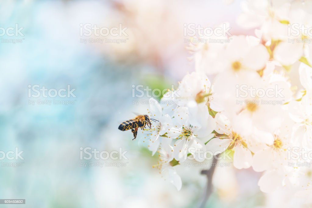 Flying bees in the air to the cherry blossoms in search of honey nectar. A symbol of spring. stock photo
