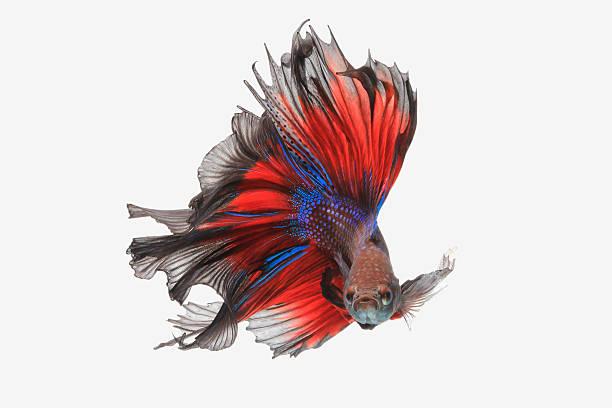 Flying betta fish stock photo