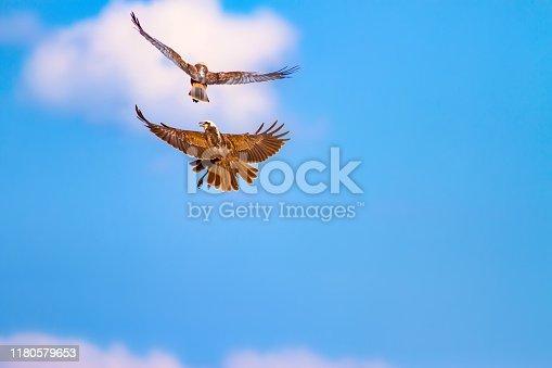 istock Flying bird. Bird of prey. Nature background. Bird: Western Marsh Harrier. Circus aeruginosus. 1180579653
