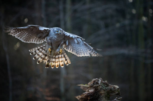 flying bird goshawk with blurred orange autumn tree forest - falcon bird stock photos and pictures