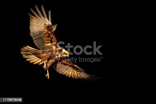 istock Flying bird of prey. Isolated hawk. Black background. Bird: Western Marsh Harrier. Circus aeruginosus 1175979446