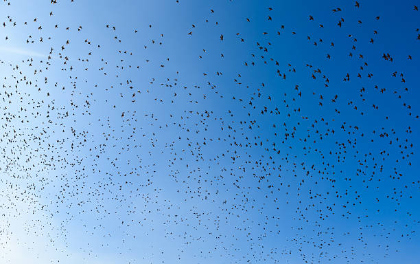 Flying bird swarm - togetherness of animals Flying bird swarm - togetherness of animals - flock of birds flock of sheep stock pictures, royalty-free photos & images