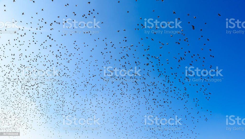 Flying bird swarm - togetherness of animals - flock of birds