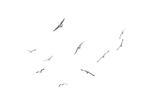Flying birds, Isolated on white background stock photo
