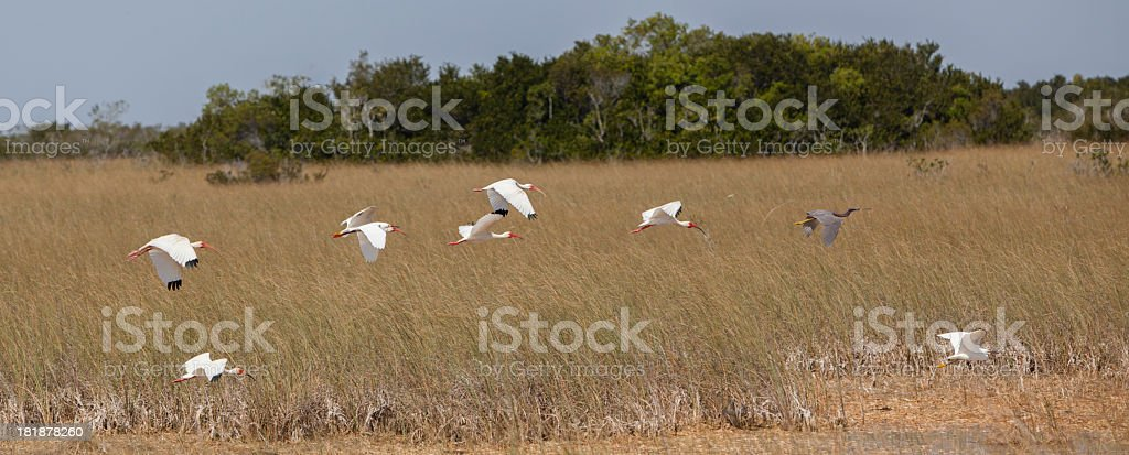 Flying Birds on Everglades royalty-free stock photo
