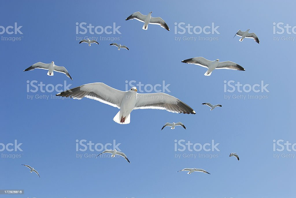A flock of seagulls float right overhead creating a perfect...