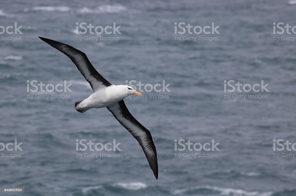 Flying black browed albatross - foto de stock