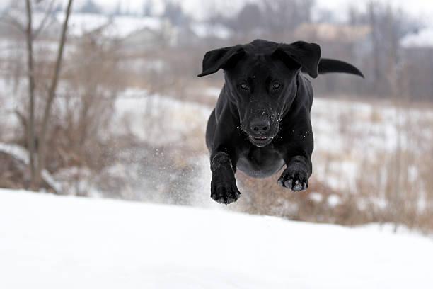 Flying black hunting dog picture id172245265?b=1&k=6&m=172245265&s=612x612&w=0&h=mce57lrxjaibmfgym4ebjlhsr8qzzcfxck8mzau2 rg=