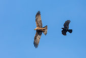 Flying black kite (Milvus migrans) attacked by a carrion crow (Corvus corone) against a blue sky.