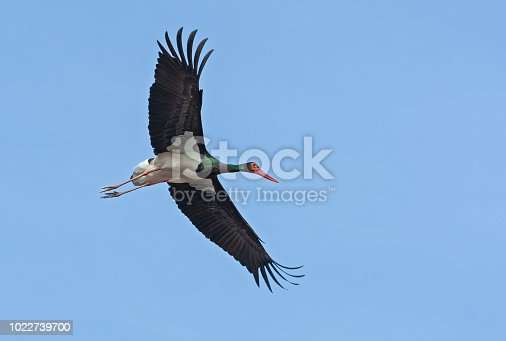 Flying black stork against a blue sky. The black stork (Ciconia nigra) is a large bird in the stork family Ciconiidae.