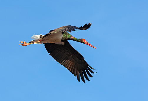 Flying black stork against a blue sky
