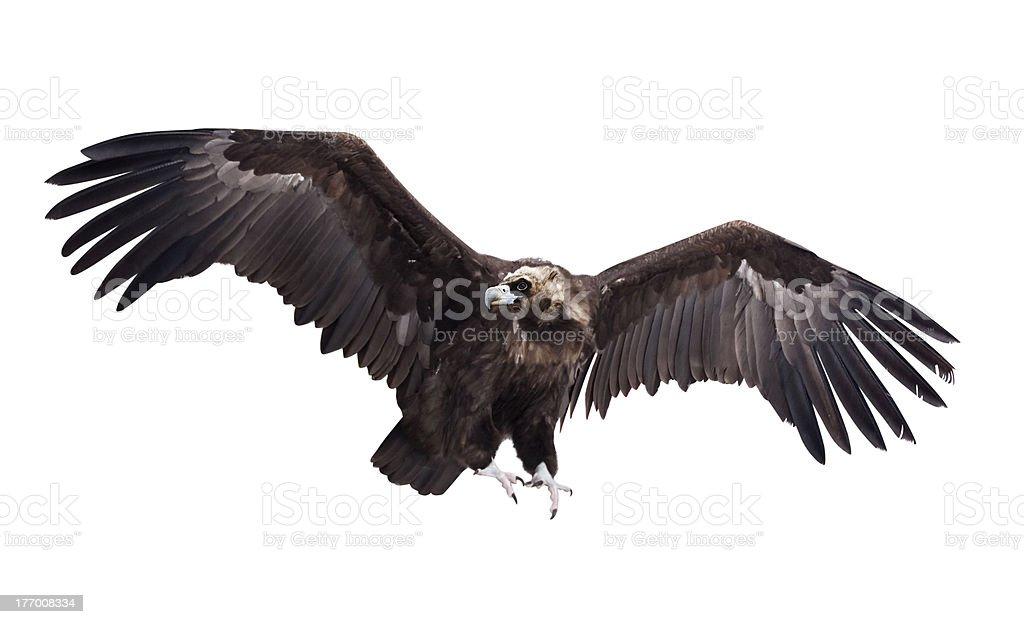 Voando Abutre-preto. Isolado sobre o branco foto royalty-free