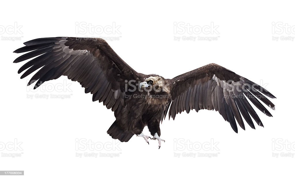 Flying black vulture. Isolated over white stock photo
