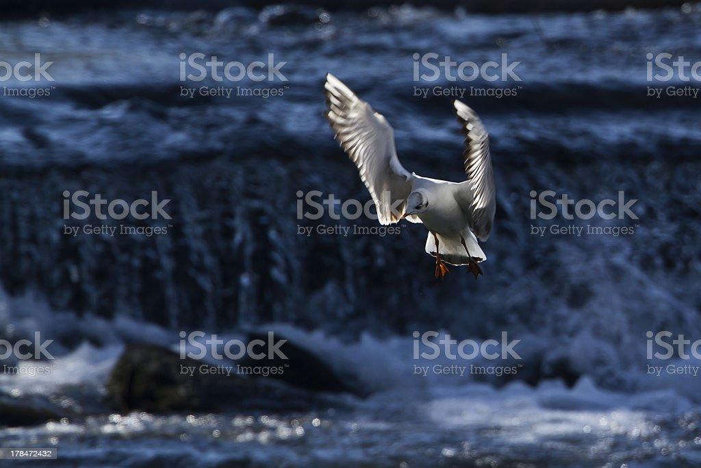 \'bird specie Chroicocephalus ridibundus, France\'