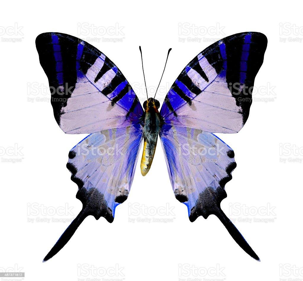 Vola Farfalla Blu Isolato Su Sfondo Bianco Fotografie Stock E