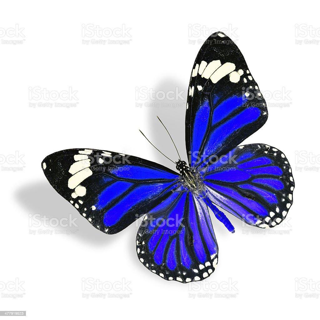 Vola Farfalla Blu Isolato Su Sfondo Bianco Con Morbida Sha