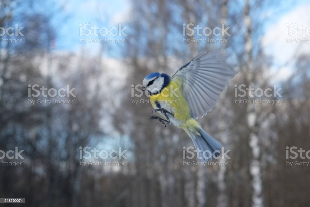 Flying Blue Tit in winter forest stock photo