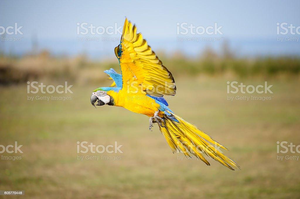Flying blue-and-yellow Macaw-Ara ararauna – Foto
