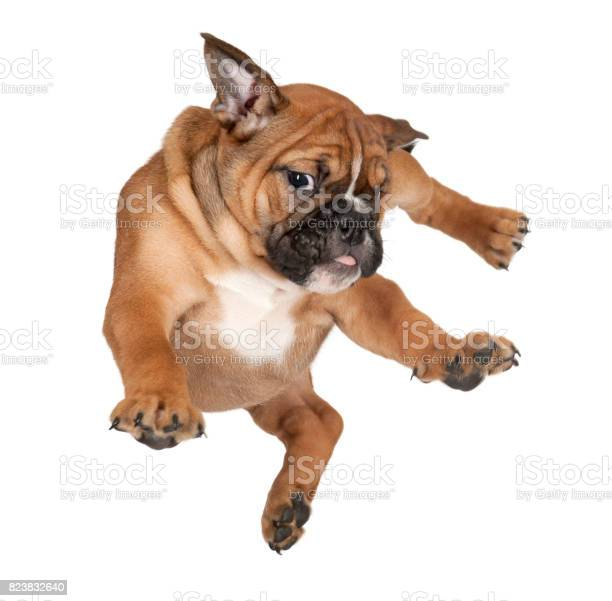 Flying boxer puppy against white background picture id823832640?b=1&k=6&m=823832640&s=612x612&h=c0psyr8czxohkj p7xcnrgzx1kishm6a0hhijywuffo=