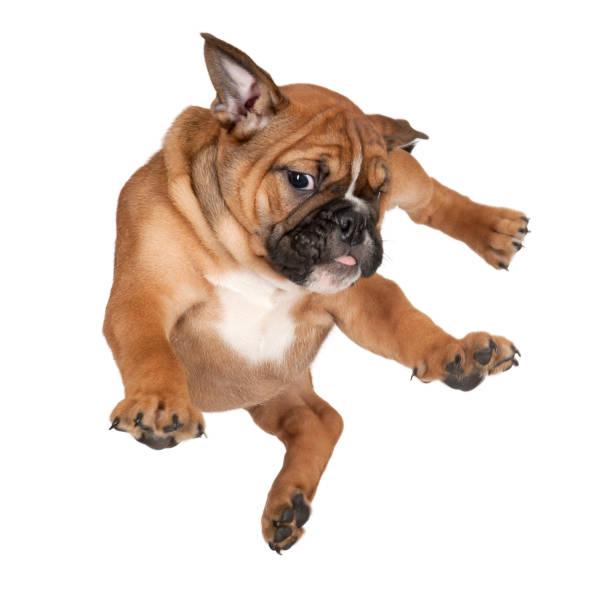 flying boxer puppy against white background - bokser pies zdjęcia i obrazy z banku zdjęć