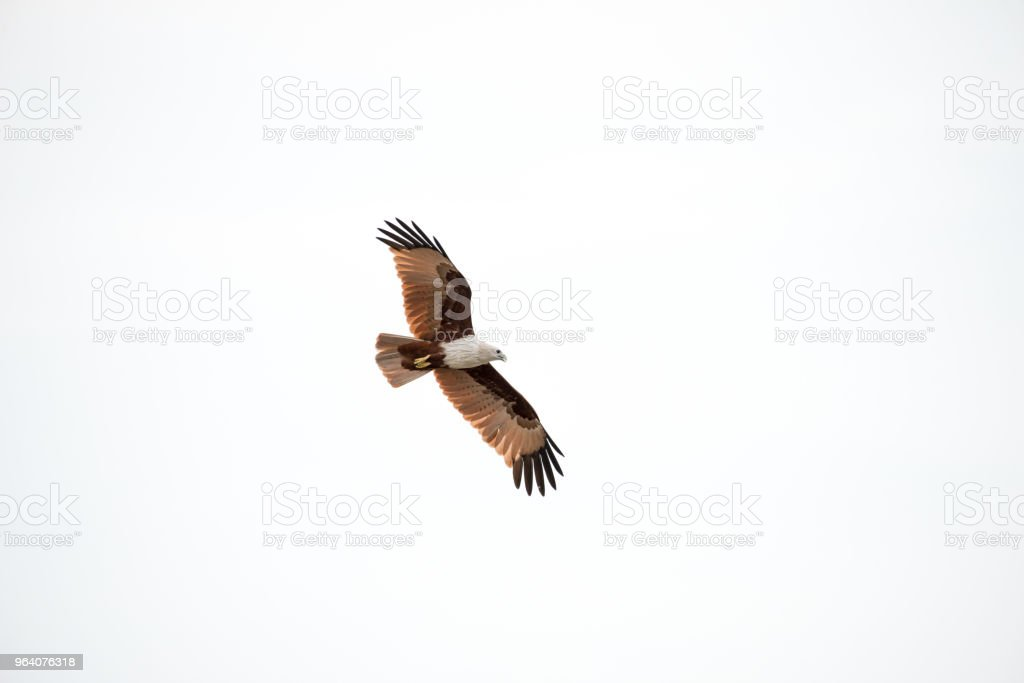 flying Brahminy Kite at Bangpu Recreation Center; Samut Prakan; Thailand - Royalty-free Animal Stock Photo