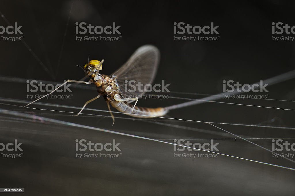 Flying bug insect on defying a spiderweb stock photo