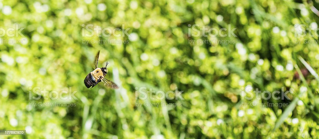 Flying Bumble Bee royalty-free stock photo