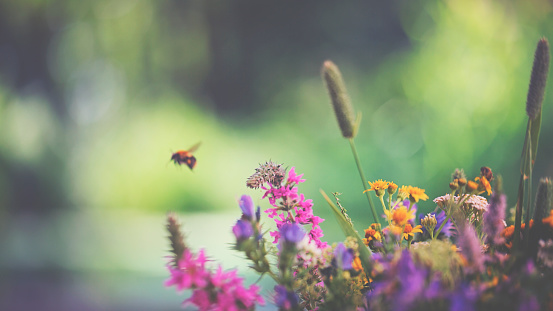 Flying bumblebee and summer flowers