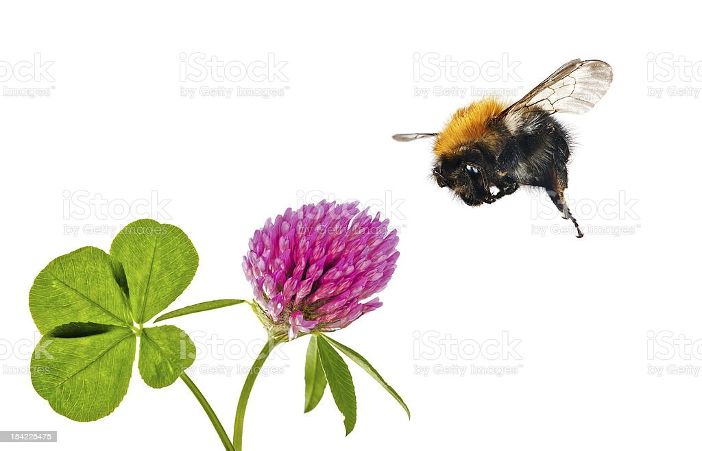 flying bumblebee near clover flower stock photo