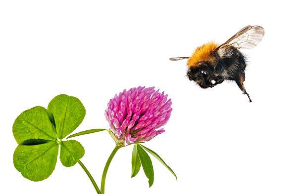 flying Bourdon près de clover fleur - Photo