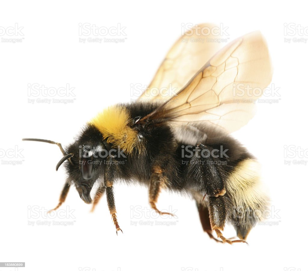 Flying bumblebee stock photo