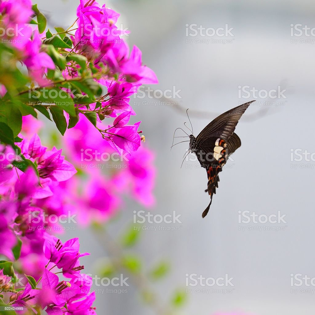 flying butterfly in the flowers stock photo