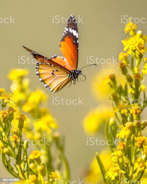 Flying butterfly plain tiger between flowers picture id960483866?b=1&k=6&m=960483866&s=612x612&h=kel3rqpar  bdyoxxe1ebdyqog jcu857th4cl6djhs=