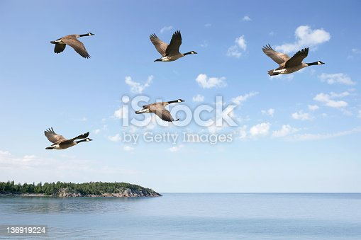 flock of canada geese flying over lake with bright sky (XXXL)