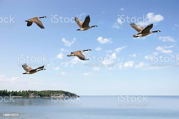 Flying canada geese picture id136919224?b=1&k=6&m=136919224&s=612x612&h=w8 4qnbdaudvdcju33plhkchshb1rpyemk7uef4ilei=