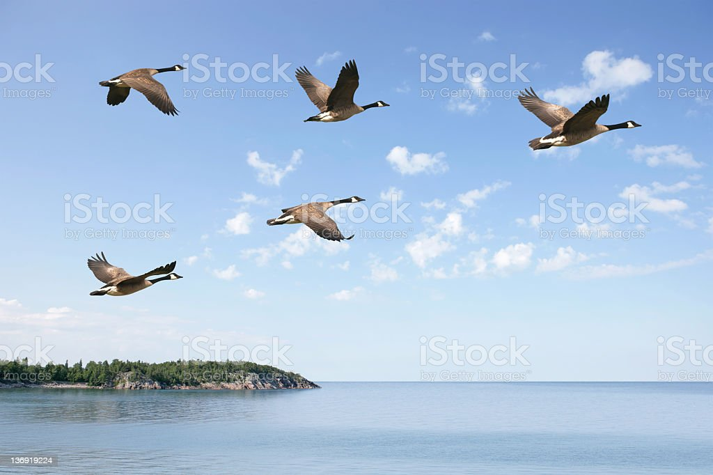 XXXL flying canada geese stock photo