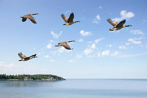 XXXL flying canada geese stock photo