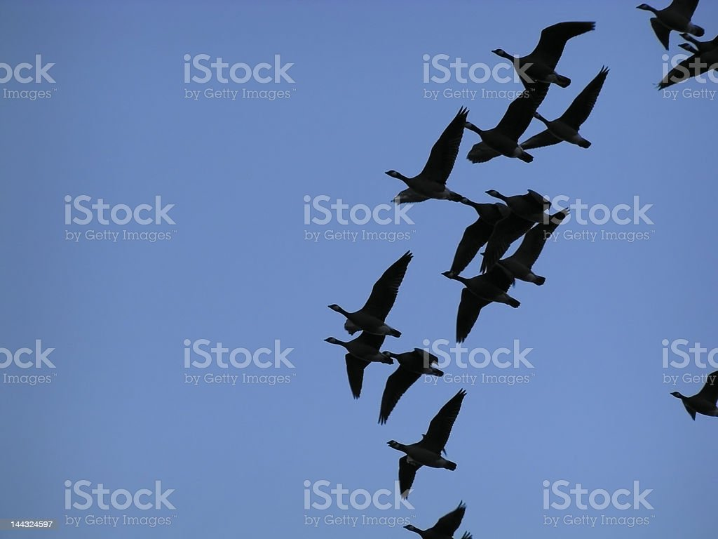 Flying Canada Geese Silhouette stock photo